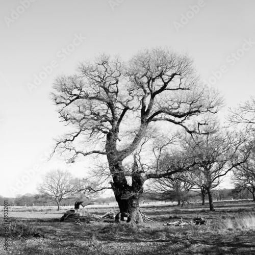 Fototapety czarno białe   czarno-biale-drzewo