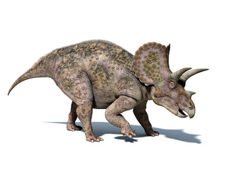 Fototapeta Triceratops dinosaur, isolated on white background, with clippin