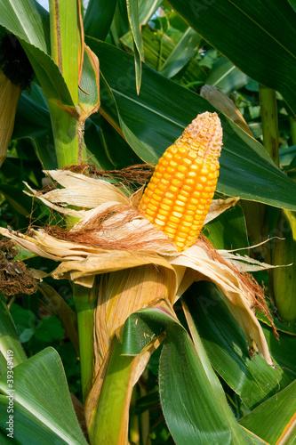 Corn crop Canvas-taulu