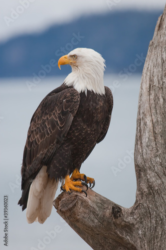 In de dag Eagle American Bald Eagle
