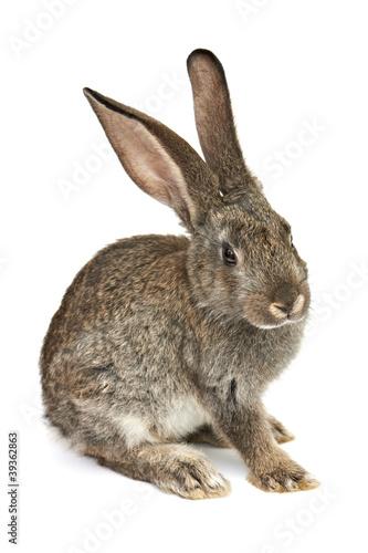 Fotografia gray rabbit
