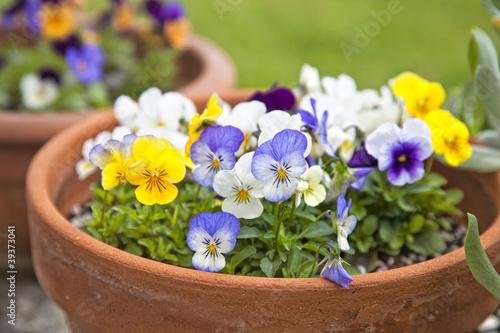Papiers peints Pansies Violet Planters