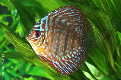 Papiers peints Recifs coralliens Symphysodon discus fish