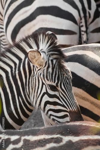 Poster Zebra zebra abstract