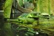 Crocodiles with turtle in ZOO, Czech Republic