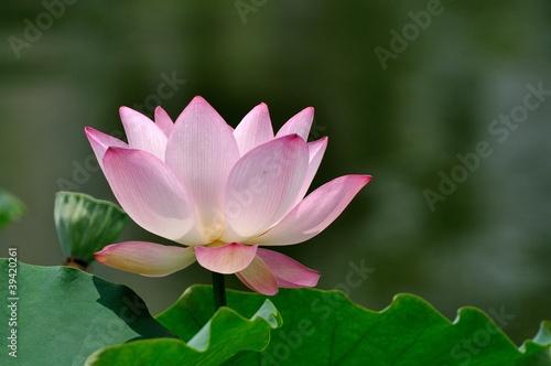 Staande foto Lotusbloem 荷花