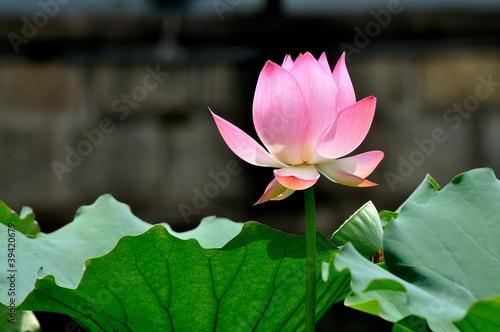 Foto op Aluminium Lotusbloem 荷花