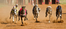 Racing Greyhounds