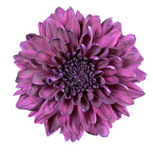 Purple Chrysanthemum Flower Is...