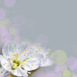 Leinwandbild Motiv Fleur de cerisier, fond bokeh gris