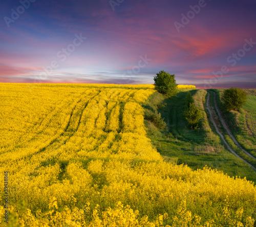 Foto op Aluminium Aubergine Summer Landscape with a field of yellow flowers. Sunset