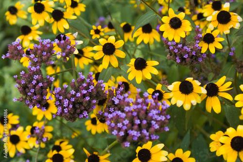 Fotografia, Obraz  Black-eyed Susans
