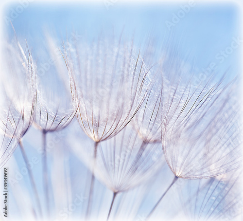 Abstract dandelion flower background