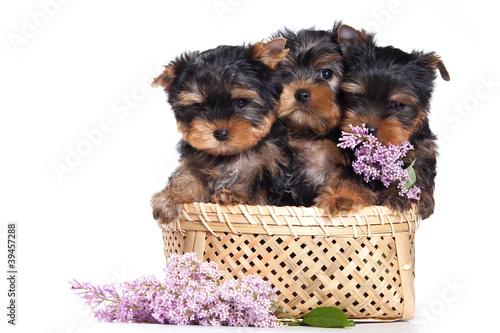 yorkshire-terrier-szczeniak-na-bielu