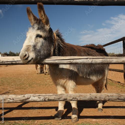 sad donkey Canvas Print