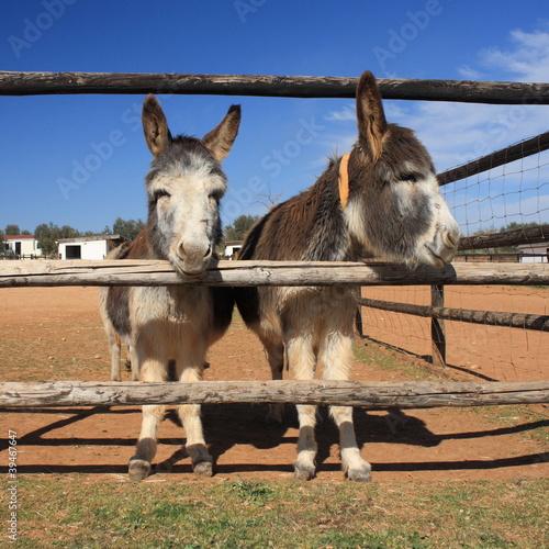 Photo  2 little donkeys