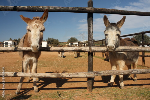 Photo  curious donkeys