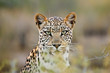 canvas print picture Leopard portrait, Kalahari desert, South Africa