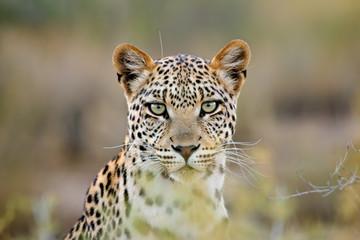 Fototapeta Leopard portrait, Kalahari desert, South Africa