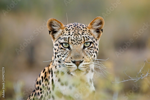 Photo sur Aluminium Leopard Leopard portrait, Kalahari desert, South Africa