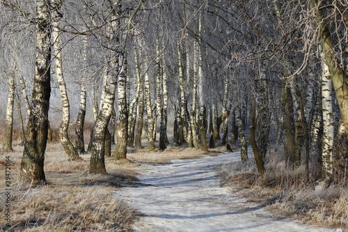 Deurstickers Berkbosje Березовая роща зимой