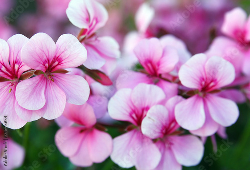 Pelargonium Canvas Print