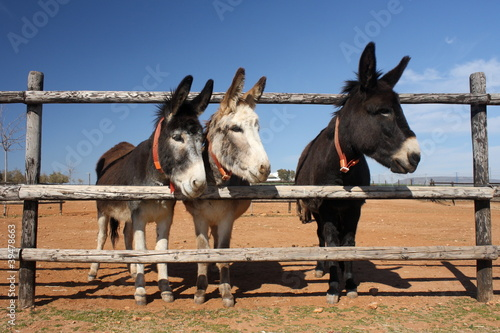 Photo  3 curious donkeys