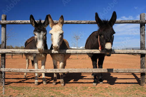 3 donkeys looking through fence Poster Mural XXL