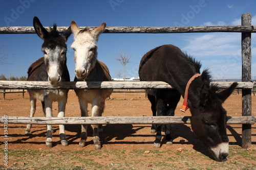 Photo  grazing donkeys