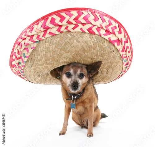 Fotografie, Obraz  chihuahua with a sombrero
