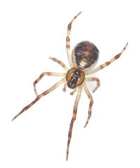Orb weaver spider isolated on white background