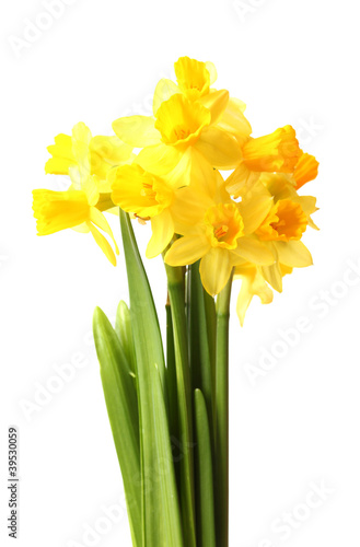 Papiers peints Narcisse beautiful yellow daffodils isolated on white
