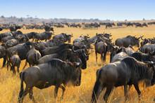 Wildebeest Antelopes In The Sa...