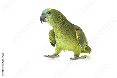 Papiers peints Perroquets Blue fronted Amazon parrot on white background