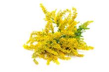 Canada Goldenrod Flowers Isola...