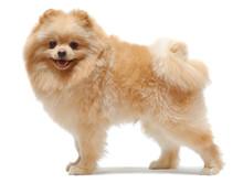 Portrait Of Standing Pomeranian Spitz