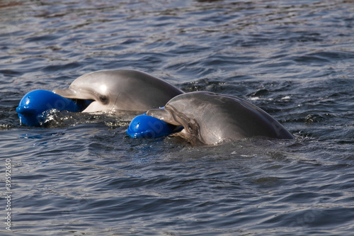 Staande foto Dolfijnen Two Bottlenose dolphins or Tursiops truncatus