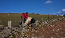Freeing Stuck Sheep
