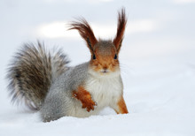 Red Squirrel On The White Snow.
