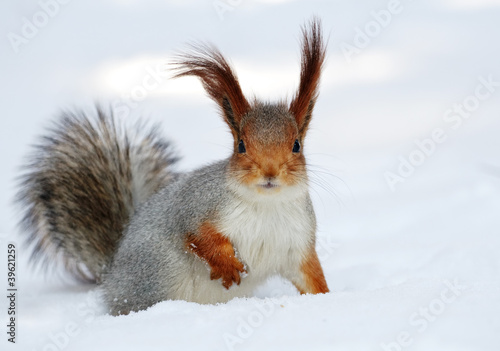 Foto op Canvas Eekhoorn Red squirrel on the white snow.