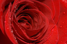 Perfect Red Rose Petals Close Up With Water Drops