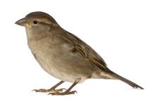 Female House Sparrow - Passer ...