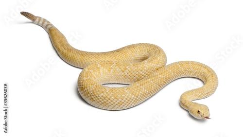 Fotografie, Obraz  albinos western diamondback rattlesnake - Crotalus atrox