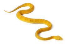 Yellow Eyelash Viper - Bothrie...