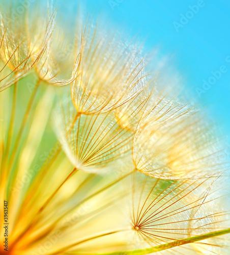 Soft dandelion flowers
