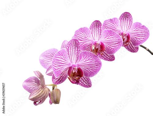kwiat-orchidei-na-bialym-tle