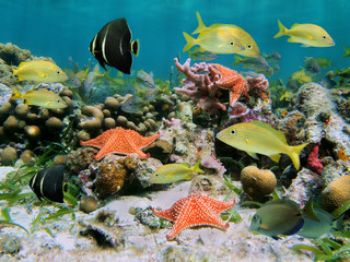 Colorful sea life in a coral reef with shoal of tropical fish and starfish, Caribbean sea