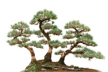 Three Pine Bonsai Trees