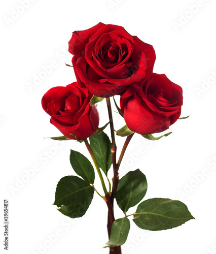 Tuinposter Roses three dark red roses isolated on white