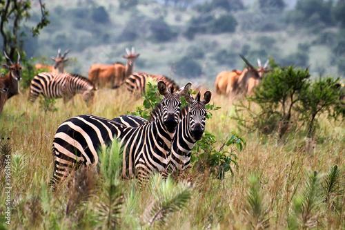 Aluminium Prints Zebra Akagera National Park in Rwanda